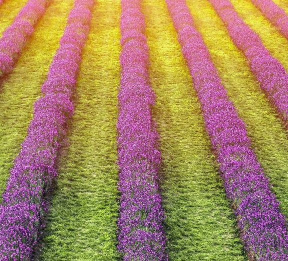Lavender Fields at Laveanne, north of Port Hope