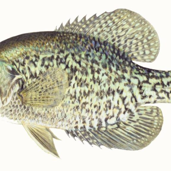 A black crappie against a white background