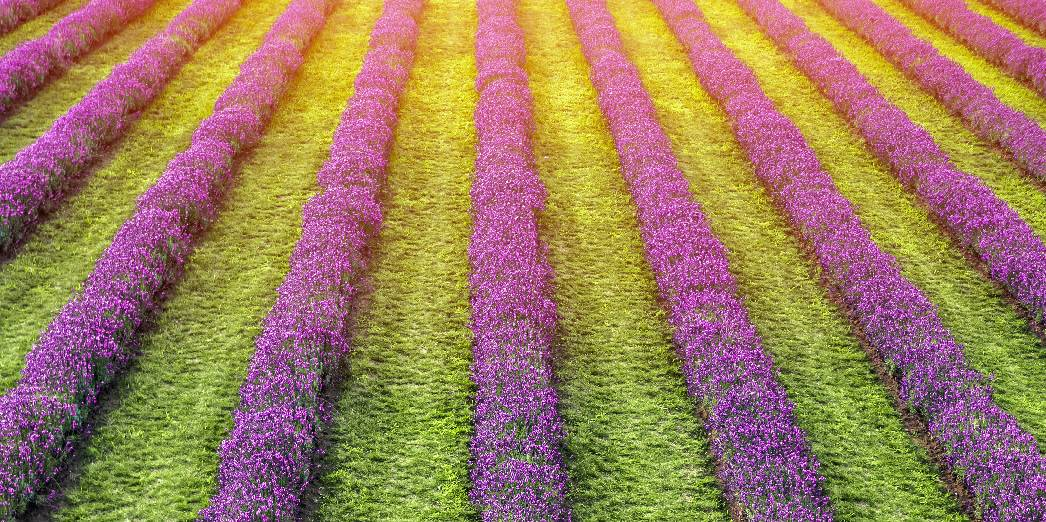 Lavender Fields At Laveanne North Of Port Hope