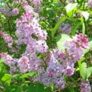 Lilac in bloom in Northumberland County