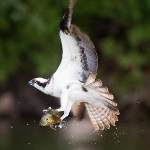 Ospreys on waterways in the City of Kawartha Lakes Ont 2012 Fred Thornhill photo