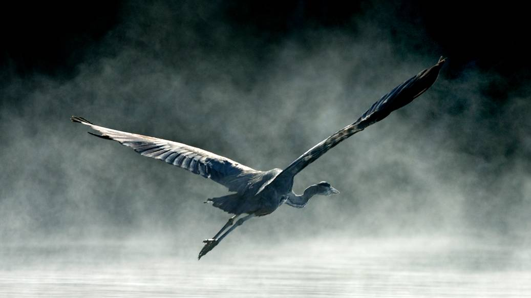 Blue Heron in flight (Photo Credit: Fred Thornhill)