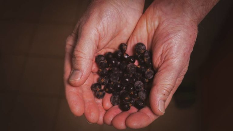 Hands holding Popham Lane Farm black currants