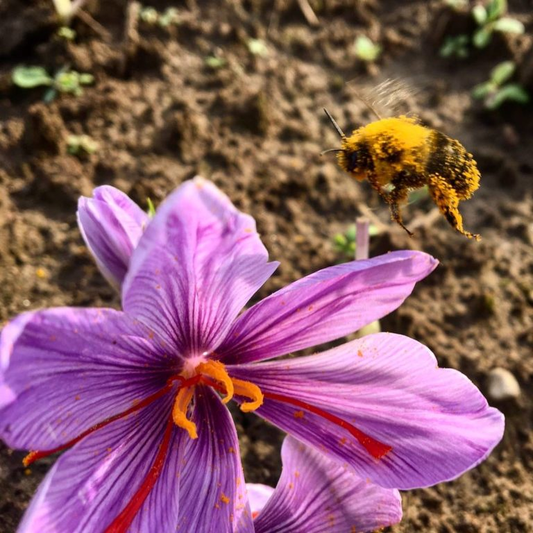 A bee hovers over a saffron crocus (photo credit: Martin Albert)